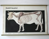 Vintage. Pull down chart. Anatomical. School. Science. Poster. Mid Century German DDR. Educational. Canvas. Cow (409)