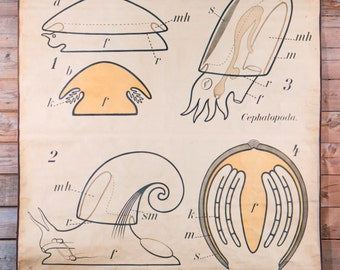Vintage French Scientific School Chart of Mollusk by Paul Pfurtscheller