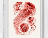 Jelly fish Discomedusae in red - sea life print- Haeckel sea life illustration A4 print SPOJ012