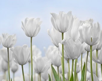 Pastel White tulips with blue skiy