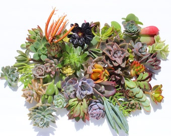 15 succulent cuttings succulent clippings succulent plants colorful succulent cuttings bulk succulents wholesale succulent plants