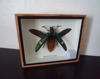Taxidermy Real Insect Magaloxantsa Bicolor Boxed Insect Display Beetle Taxidermy Entomology