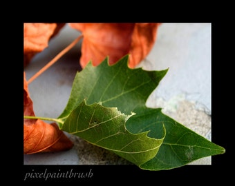 DIGITAL DOWNLOAD, Green and Red Autumn Leaves, Cement background, Black Border, Stock photo, available in print
