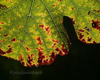DIGITAL DOWNLOAD, Glowing Grape Leaf, Green, Red, Black Photo, Macro, Fall Season, Stock photo
