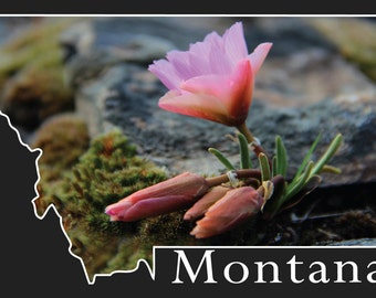 Montana Post Card- Bitterroot Flower