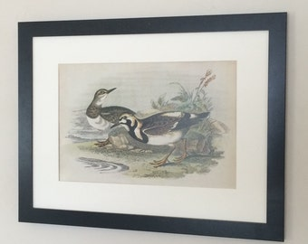 "Framed and Mounted Turnstone Bird Print 16"" x 12"""