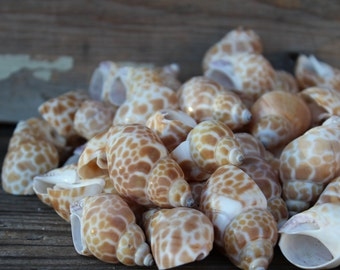 Babaloia Japonica Seashells 10pc - Wedding Shell - Craft Shells - Bulk Shells - Wholesale Shells - Hermit Crab