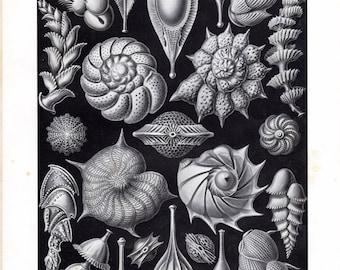 1899 Original Ernst Haeckel Print Thalamophora Marine Life Sea Kunstformen Natur 1st Pl 81 Nautical Art Antique Lithograph