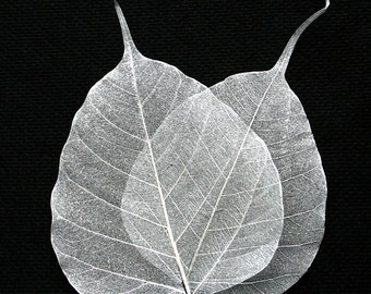 Silver bodhi skeleton leaves