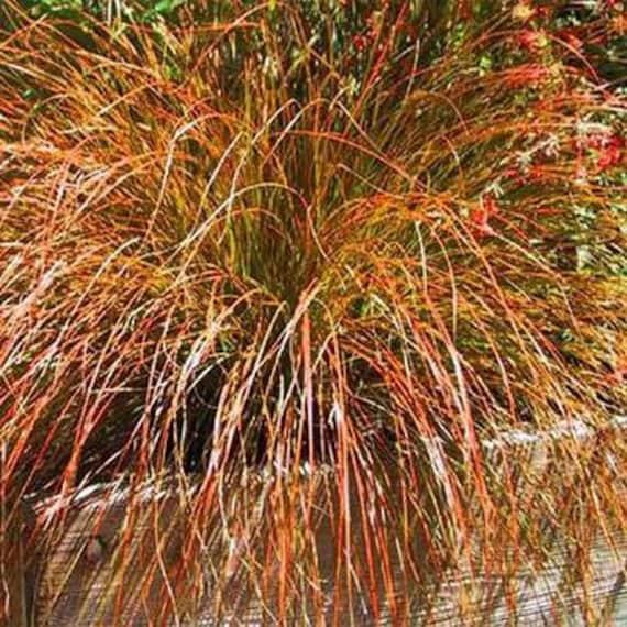 Carex prairie fire ornamental grass seeds carex testacea for Ornamental prairie grass