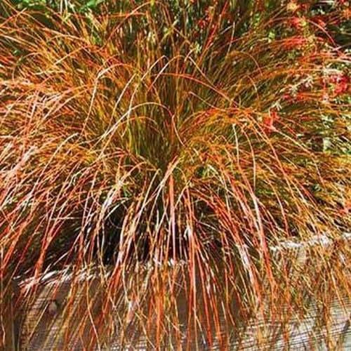 Carex prairie fire ornamental grass seeds carex testacea for Different ornamental grasses