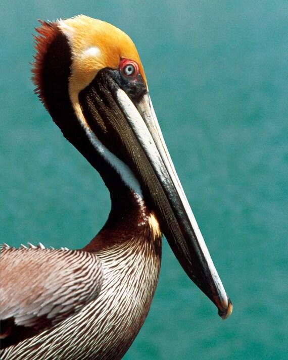 Pelican Fine Art Photography Wall Photo Print Close Up