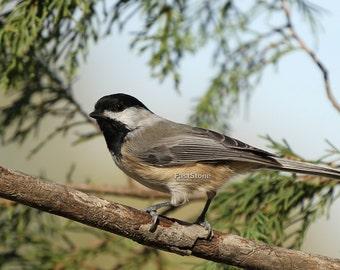 Black Capped Chickadee, bird, birds, photo, prints, nature photo, home decor, wall art