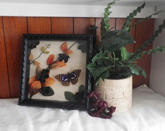 CLEAN OUT SALE-Great Purple Emperor- Butterfly Shadowbox