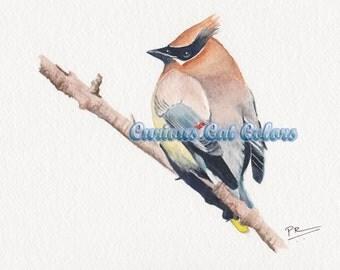 Cedar waxwing watercolor print