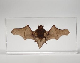 Medium Bat Specimen in Lucite