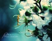 Blue Flower Photo, white flower photo, blue flower art, flower decor, blue and cream decor, blue art photo, flower photo, blue flower art