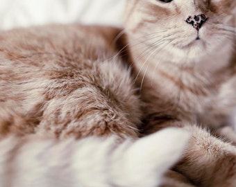 Cat Photograph, Ginger Tabby Cat, Beige Sepia, Abstract, Cat Print, Cat Photos, Elvis the Cat