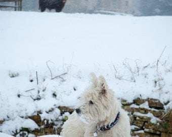 I am Crumpet 15 - Dog Photography - Westie - West Highland terrier - Wall Décor