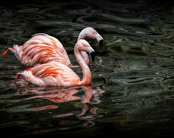 Swimming Tropical Pink Flamingo Birds at the John Ball Zoo in Grand Rapids Michigan No. 0056 Fine Art Waterfowl Bird Nature Photography
