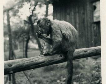 "Vintage Photo ""Murphy the Monkey"" Pet Cute Animal Snapshot Photo Old Antique Black & White Photograph Found Paper Ephemera Vernacular - 193"
