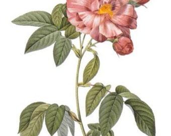 Rosa Gallica Veriscolor - Cross stitch pattern pdf format