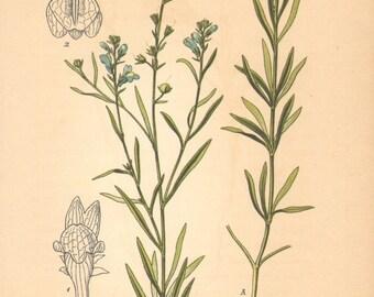 1884 Pale Toadflax, Linaria striata Antique Lithograph