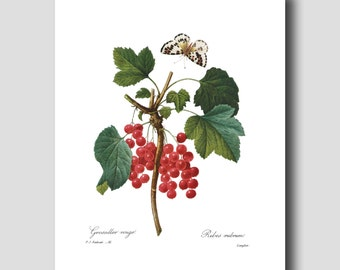 """Fruit Art, Red Berries Wall Art (Butterfly Botanical Print, Kitchen Decor) """"Wild Currents"""" --- Pierre Redoute Botanical Print No. 51"""
