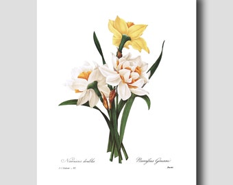 """Daffodil Print """"Double Narcissus"""" (Botanical Room Decor for Girls) Redoute Daffodil Art No. 82"""