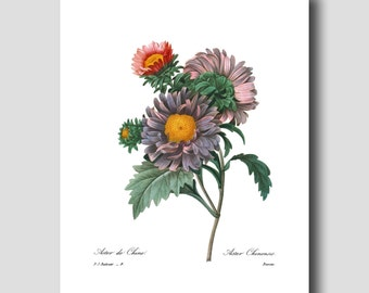 Country Cottage Decor, Flower Wall Art (Antique Botanical Print, Purple Home Decor) --- Pierre Redoute Asters Flower Print No. 9