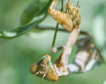 Tan Praying Mantis Photo, nature photography, insect wall art, macro photography, fine art print