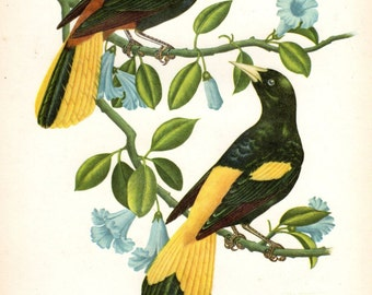 Yapu Tropical Vintage Bird Print Axel Amuchastegui 1959 Antique Bird Print Ornithology Nest Vintage Bird Print