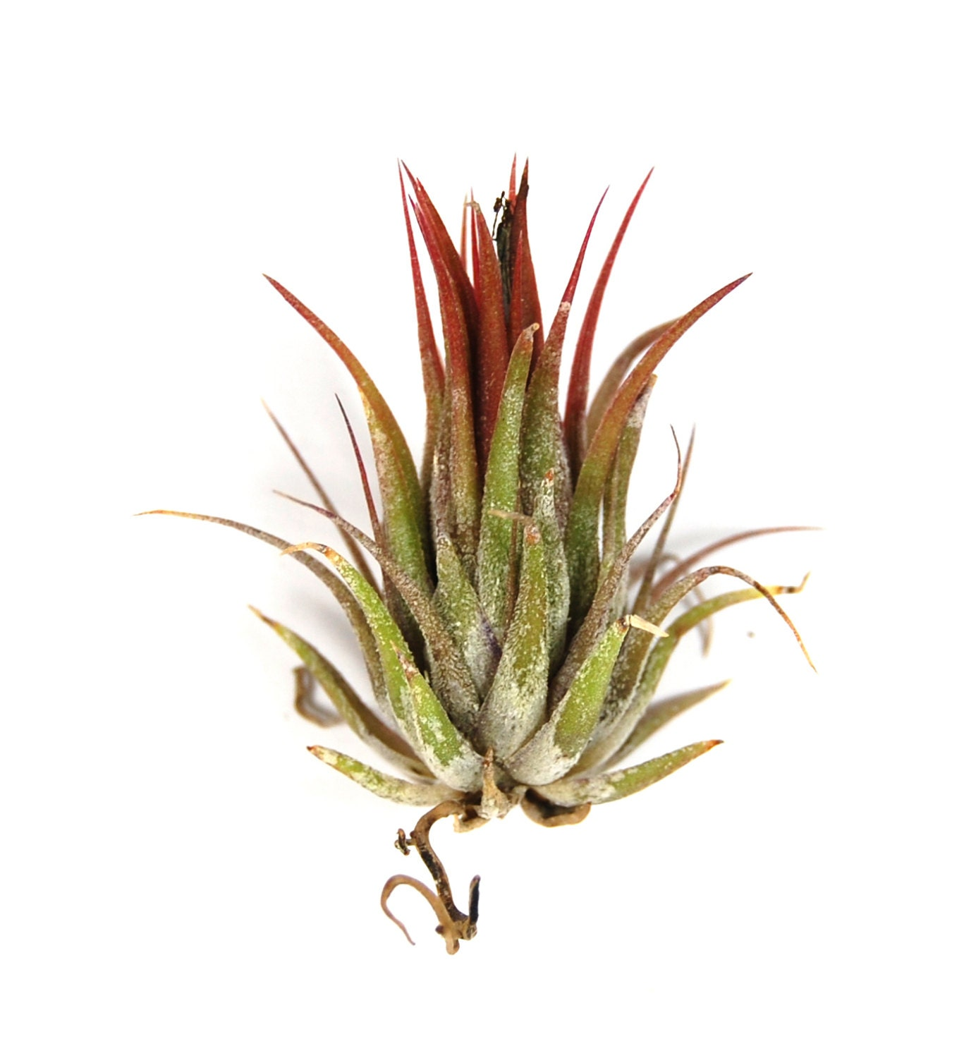 12 air plants wholesale ionantha peanut air plant set of for Cheap air plants