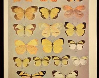 Butterfly Plate Print Butterflies Late 1800s Original 1898