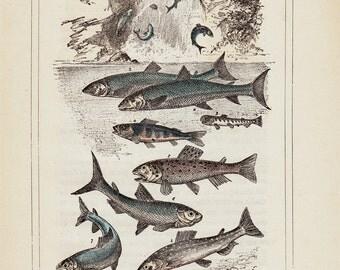 Fishes, 1885 original antique print. salmon