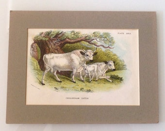 Antique Print Chillingham Cattle