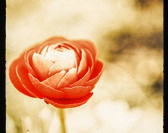 Red Ranunculus Flower, Spring Home Decor, Nature Art Photography - wall art print, orange, crimson red, picture of flower, nursery decor