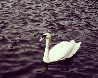 Swan Print - Fine Art Photography - swan art - bird print - bird art - white swan - nature photography - swan photo print - 8x10, 8x8, 8x12