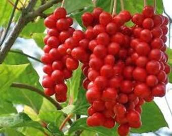 Schisandra Chinensis Seeds, Wu-wei-zi, Magnolia Vine, Perennial Vine, Chinese Medicine, Medicinal Herb