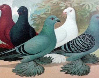 1910 COLOURED PIGEONS Altenburg Trumpeter Birds Ornithology - Original Antique Chromolithograph First Edition. Vintage. Over 100 years old.