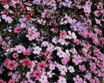 Lychnis Snowstar Seeds Lychnis Seeds Viscaria Rosett 2,000 Flower Seeds