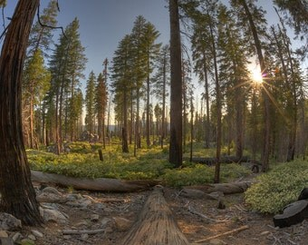 Mariposa Grove, Sequoia Trees, California
