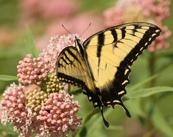 tiger, swallowtail, photo, art, print, butterfly, butterflies, insects, photogaphy