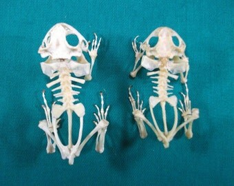 Taxidermy real Toad frog skeleton lots 2 pcs