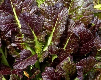New Home Garden Plant 100 Seeds Red Giant Mustard SALADS Vegetable Seeds