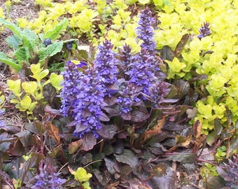 Home Garden Plant 5 Seeds Bugle,Carpetweed,Bugleweed,Ajuga Reptans,Ajuga Groundcover Perennial Herb Flower Seeds