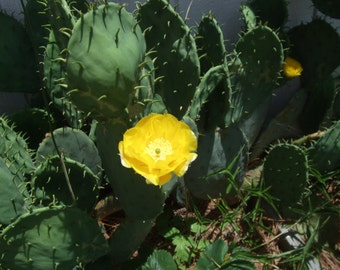 Three Drought Tolerant Prickly Pear Cactus Pads