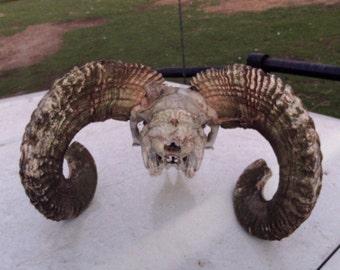 Ram Skull - Old Animal Bones - Sheep Skull - Ram Horns - Taxidermy - Merino Ram Head Bones