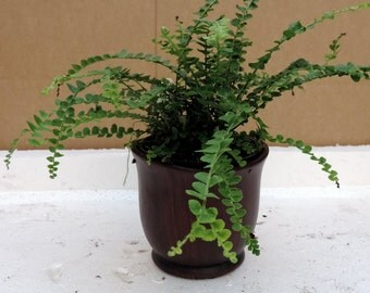 "Lemon Button Fern 4"" ceramic-Pot color red - Nephrolepis cordifolia Duffii (FREE SHIPPING)"