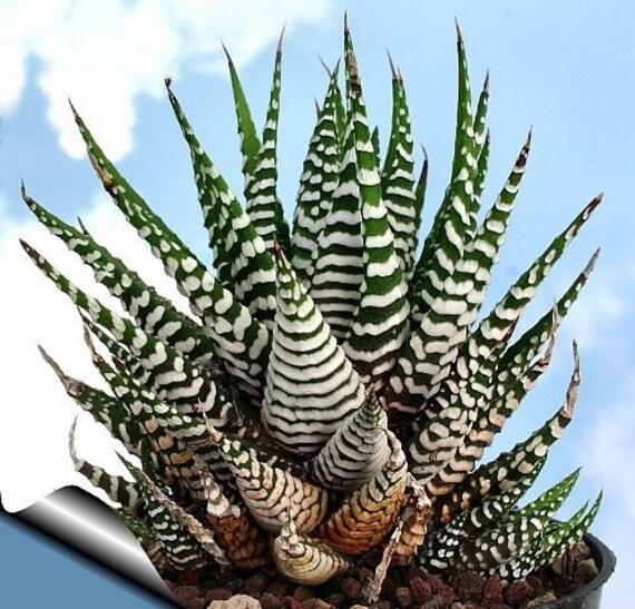 Zebra Haworthia Plant Easy To Grow Hard To Kill 3